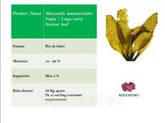 Mazzaella laminarioides Yapin Luga corta Narrow leaf