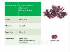 Chondracanthus chamissoi - Chicoria de mar