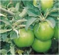 Manzanas Frescas de la variedad Granny Smith