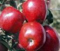 Manzana variedad Scarlet