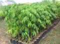 Plantas forestales