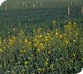 Herbicida del grupo de las sulfonilureas