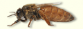 Polen de abeja reina